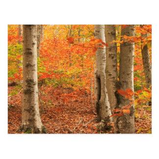 Cartão Postal Outono Mashpee de Cape Cod da floresta da faia