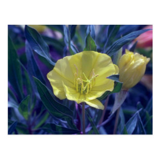 Cartão Postal Ozark amarelo Sundrops, (Oenothera Macrocarpa)
