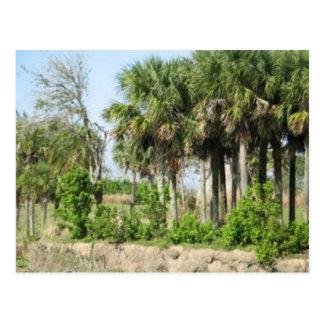 Cartão Postal palmeiras de florida