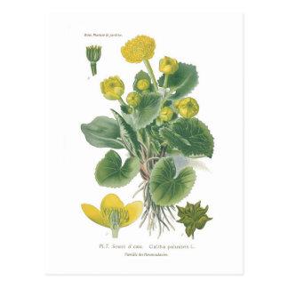 Cartão Postal Palustris do Caltha (cravo-de-defunto de pântano)