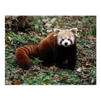 Cartão Postal Panda vermelha