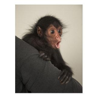 Cartão Postal paniscus Vermelho-enfrentado do Ateles do macaco
