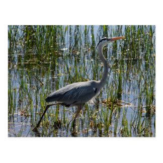 Cartão Postal Pântano do pássaro da garça-real de grande azul