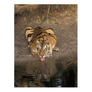 Cartão Postal Panthera tigris do bebendo do tigre de Bengal)