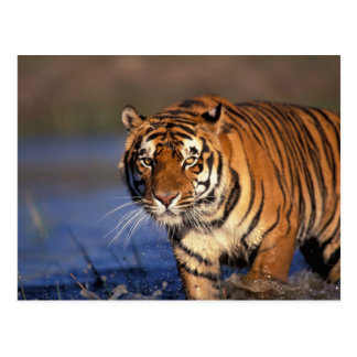 Cartão Postal Panthera tigris do tigre de ÁSIA, India, Bengal)