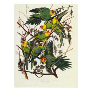 Cartão Postal Papagaio de Carolina - John James Audubon