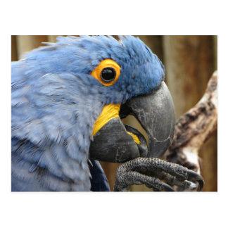 Cartão Postal Papagaio do Macaw do jacinto