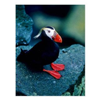 Cartão Postal Papagaio-do-mar adornado