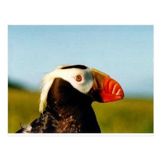 Cartão Postal Papagaio-do-mar adornado disponivel