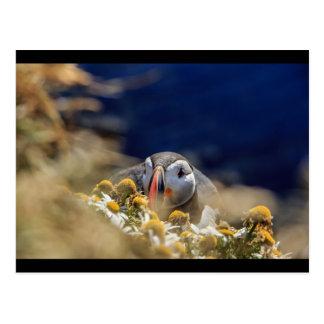 Cartão Postal Papagaio-do-mar em esconder