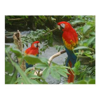 Cartão Postal Papagaios - macaw do scarlette