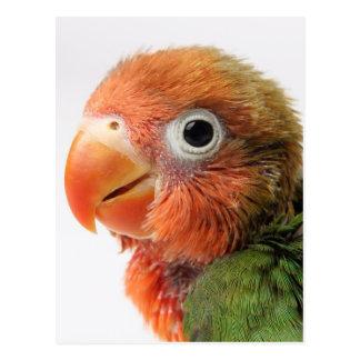 Cartão Postal Papillero do Agapornis do pintinho   do Lovebird