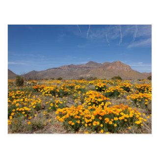 Cartão Postal Papoilas de El Paso
