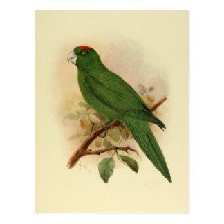 Cartão Postal Parakeet 1908 extinto de Guadalupe