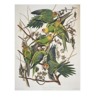 """Cartão Postal Parakeet de Carolina, dos """"pássaros de América"""","""