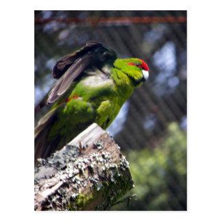Cartão Postal Parakeet Vermelho-Coroado
