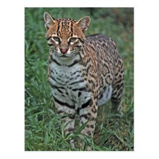 Cartão Postal Pardalis) de Leopardus do OCELOT AMÉRICA CENTRAL