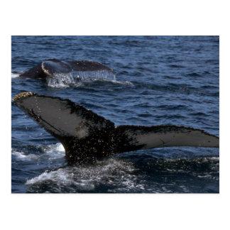 Cartão Postal Pares da baleia de Humpback