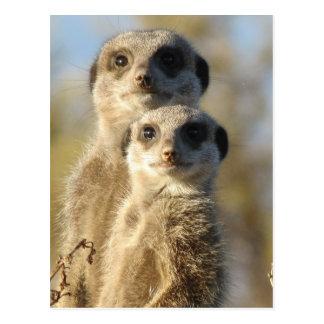 Cartão Postal Pares de Meerkats