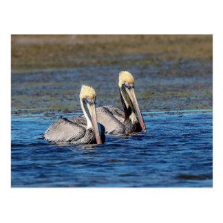 Cartão Postal Pares de pelicanos