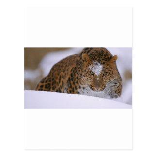 Cartão Postal Pares raros de um leopardo de Amur sobre uma