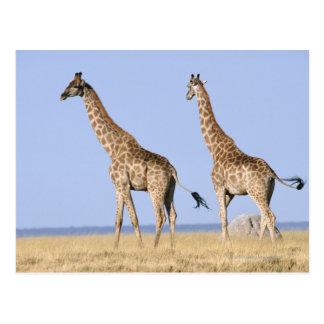 Cartão Postal Parque nacional de Etosha, Namíbia