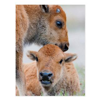 Cartão Postal Parque nacional dos EUA, Wyoming, Yellowstone,