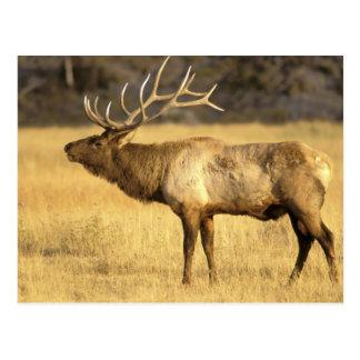 Cartão Postal Parque nacional dos EUA, Wyoming, Yellowstone.
