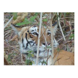Cartão Postal Parque nacional India de Corbett do tigre