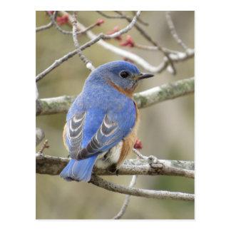 Cartão Postal Parte traseira do Bluebird