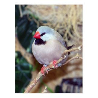 Cartão Postal passarinho da Eixo-cauda