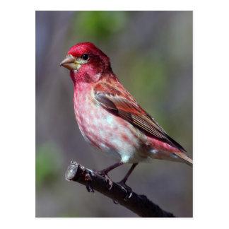 Cartão Postal Passarinho roxo