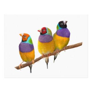 Cartão Postal Passarinhos coloridos de Gouldian nos Pastels