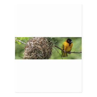 Cartão Postal Pássaro africano e seu ninho da grama