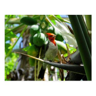 Cartão Postal Pássaro cardinal de Havaí de cocos do paraíso