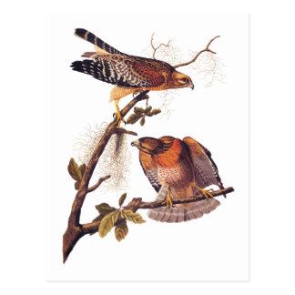 Cartão Postal Pássaro de Audubon do falcão de rapina empurrado