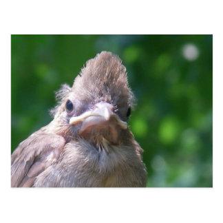 Cartão Postal pássaro de bebê irritado