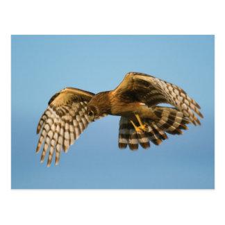 Cartão Postal Pássaro de rapina