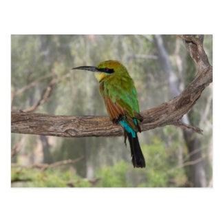 Cartão Postal Pássaro do abelha-comedor do arco-íris, Austrália
