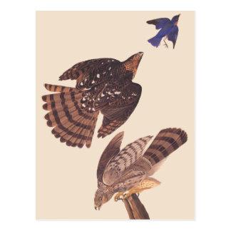 Cartão Postal Pássaro do falcão dos tanoeiros de Audubon de