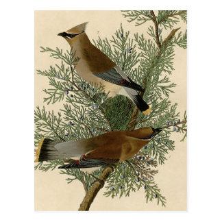 Cartão Postal Pássaro do Waxwing de cedro de Audubon