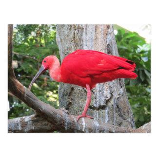 Cartão Postal Pássaro exótico vermelho do Spoonbill róseo