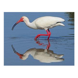 Cartão Postal Pássaro litoral dos íbis