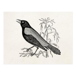 Cartão Postal Pássaro oxidado do melro de corvo do vintage -