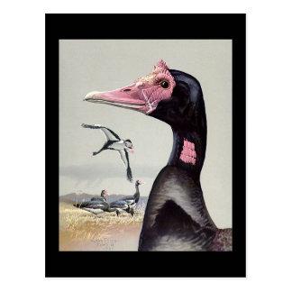 Cartão Postal Pássaros Arte-Abyssinian 20 de Chicago do