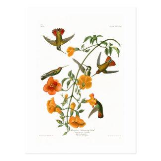 Cartão Postal Pássaros de Audubon do pássaro do zumbido dos