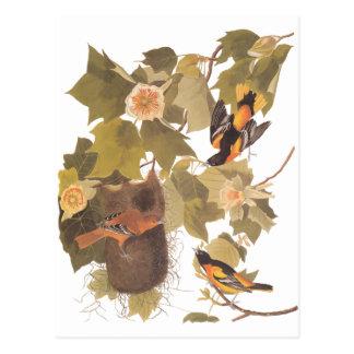 Cartão Postal Pássaros de Baltimore Oriole de Audubon na árvore