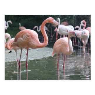 Cartão Postal Pássaros do flamingo
