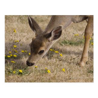 Cartão Postal Pastagem de cauda negra dos cervos (hemionus do