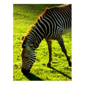 Cartão Postal Pastando a zebra